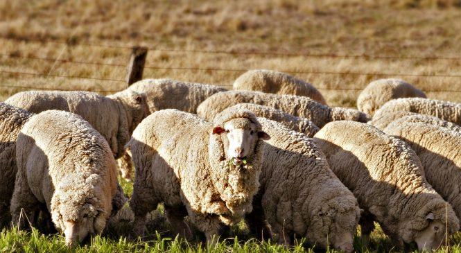Как испанские овцы обставили учёных? Всё, что стоит знать о мериносовой шерсти